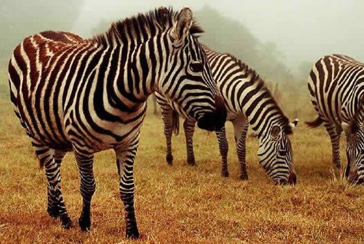 Zebra O Cebra Yahoo Zebra o cebra - Imagui