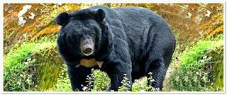 Wild life black bear Himachal Pradesh