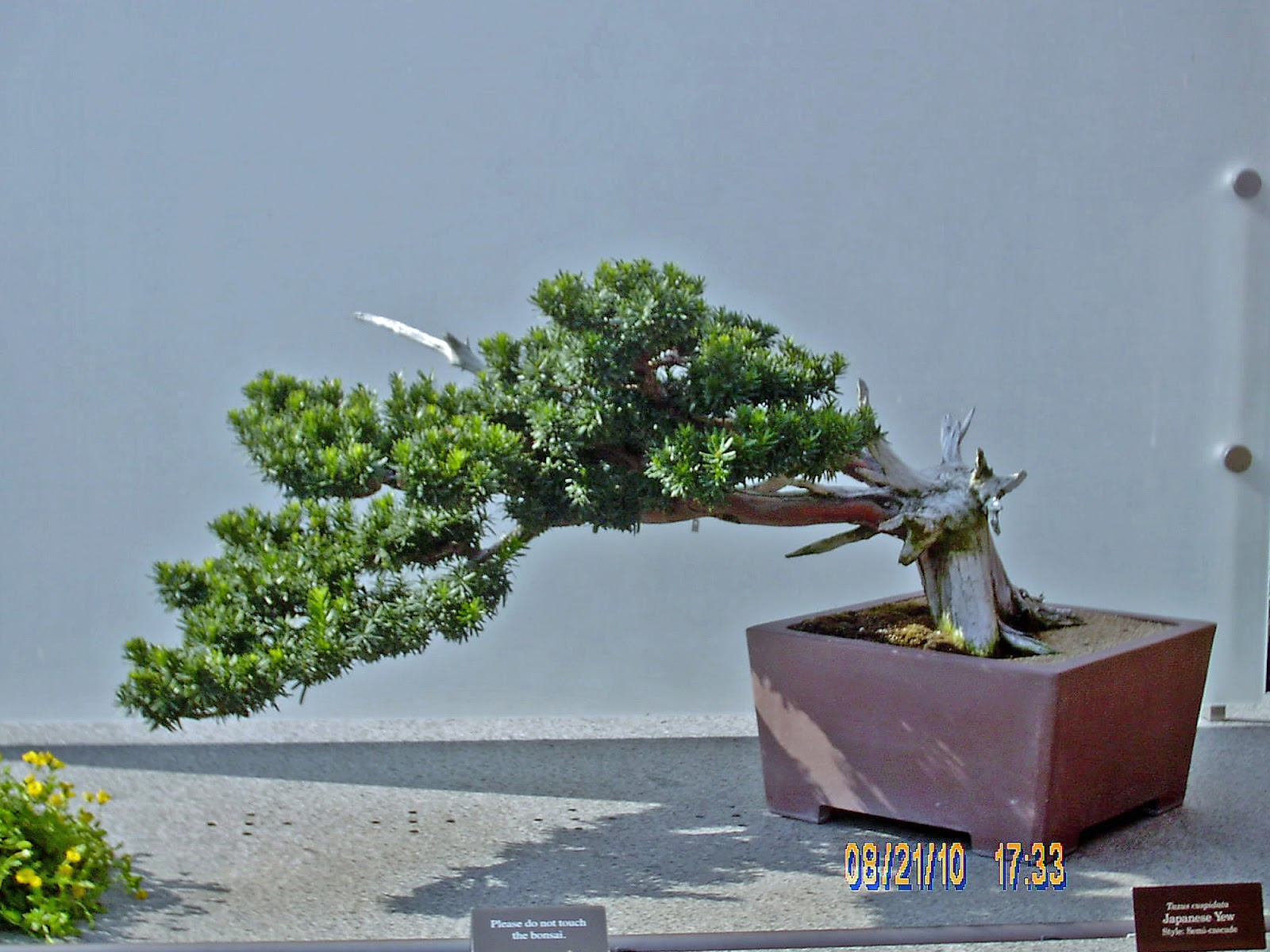 Bonsai In Hoosierland The Yew Bonsai For Everyone