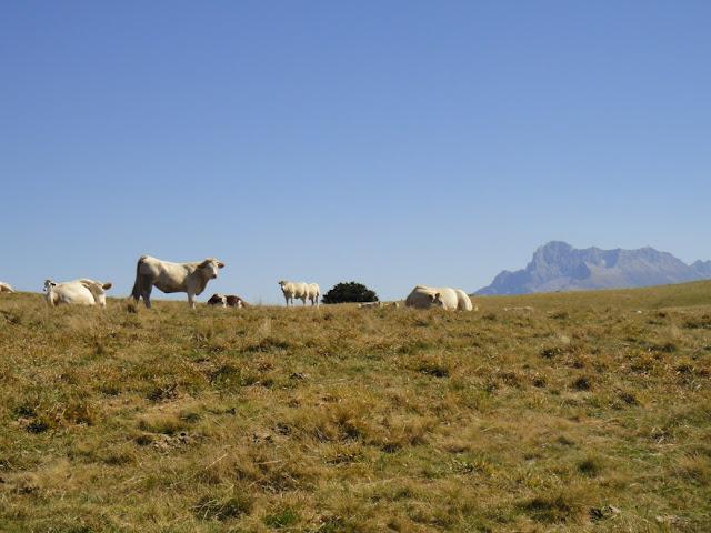 Col du Sénépi vaches