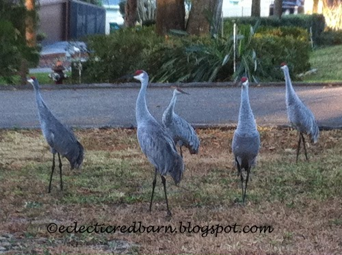 Eclectic Red Barn: Sandhill cranes in the yard