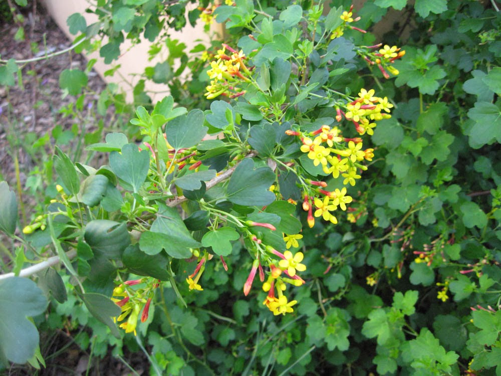 Mother natures backyard a water wise garden plant of the month golden currant ribes aureum var gracillimum flowers and foliage mightylinksfo