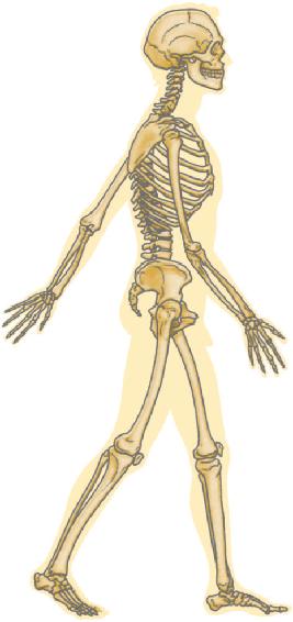 Dibujo del Esqueleto Humano de perfil