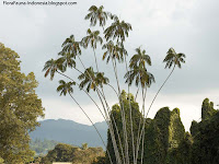 pohon Nibung sebagai flora identitas Provinsi Riau