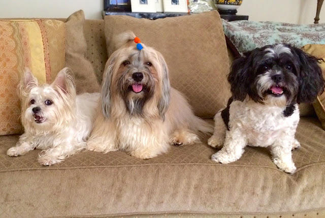 Rocco Havanese and friends