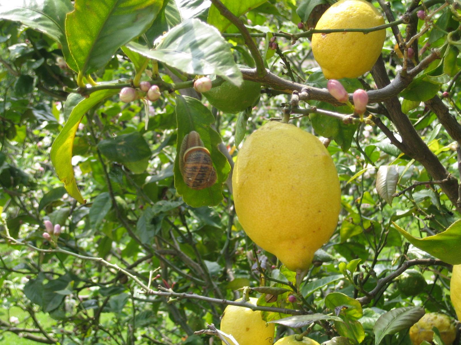 Rase una vez quiz la flor del limonero limonero sin limones for Limonero sin limones