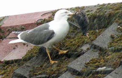 seagull, starlings, burung camar, burung jalak