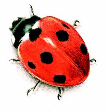 Kumbang kura-kura