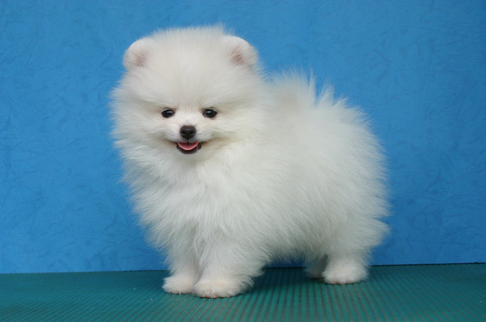 picture of pomeranian puppy on blue font