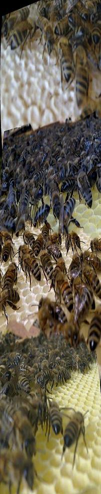 Karnİyol Arısı İle Arıcılık ve Bal