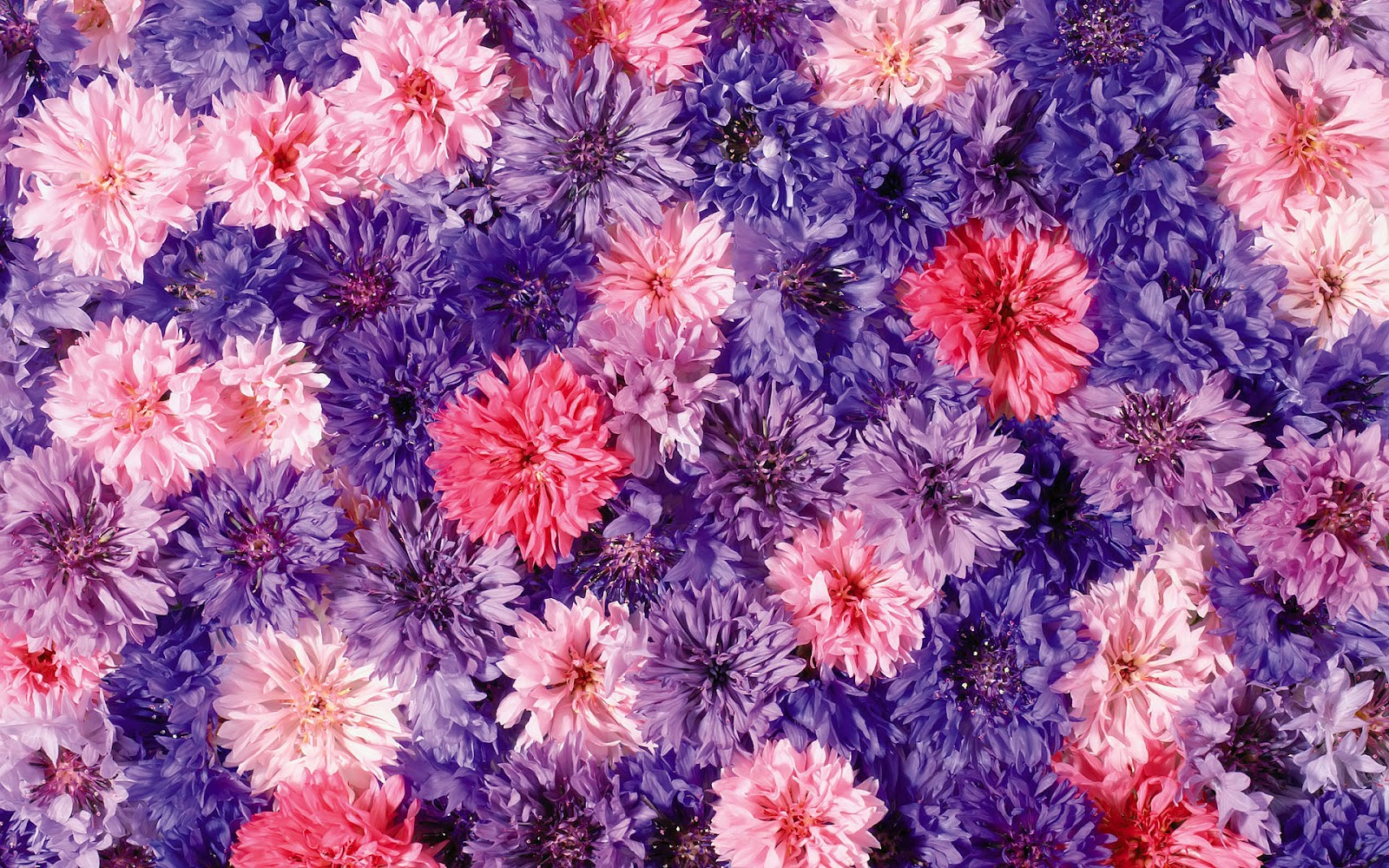 Bloemen Wallpaper Met Prachtige Roze Bloemen En Een Zwarte Achtergrond ...