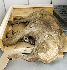 Cría de mamut congelada