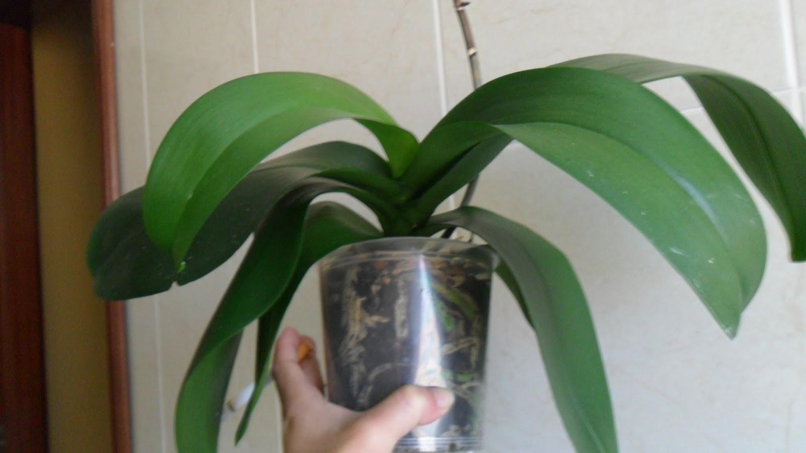 Raíces orquídeas podridas