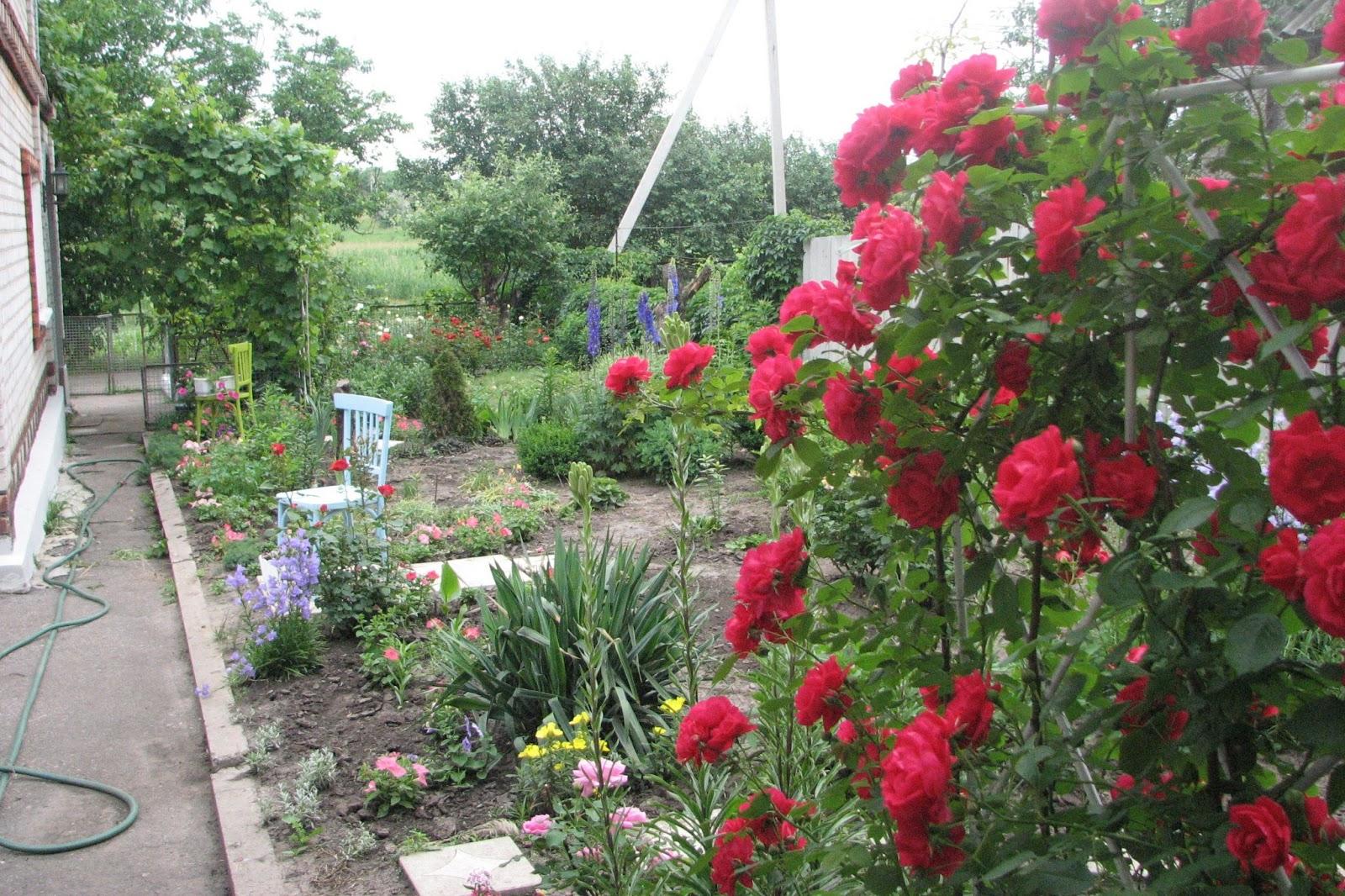 The blog fodder june 2013 - Climbing rose trellis ...