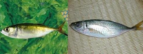 アジそっくりの魚