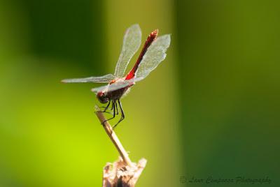 Libelula-Dragonfly-Anisoptera-Großlibellen