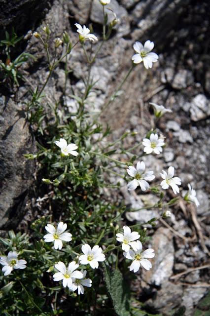 Hornkraut (Cerastium spec.) Valle Maira Ligurische Alpen
