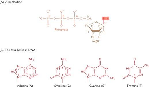 Dna kedua untai molekul heliks ganda ini yang masing masing mempunyai polaritas bersifat atiparalel yaitu satu untai dna berjalan dari arah 5 ke 3 sementara ccuart Images