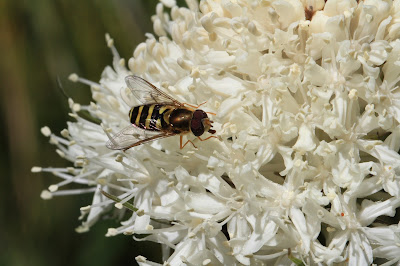 Insect on Xerophyllum tenax (bear grass)
