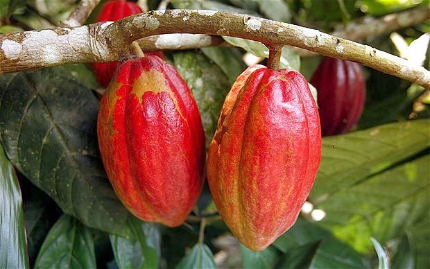 Scientists are working to unlock the genetic code of the cocoa tree, the source of chocolate.