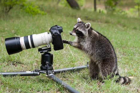 [Image: Funny+Raccoon+Photographer.jpg]