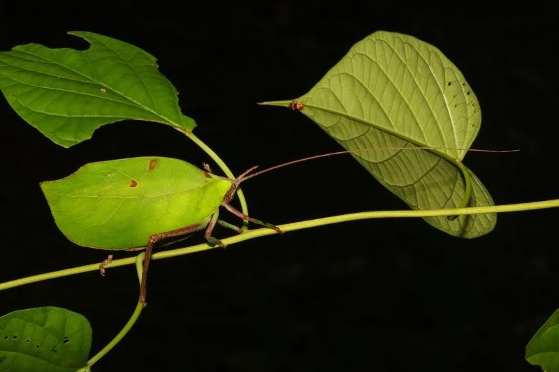 typophyllum erosum