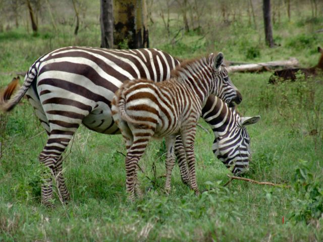 Zebra O Cebra Yahoo ZEBRA CO