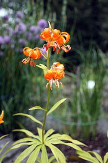 Lilium medeoloides