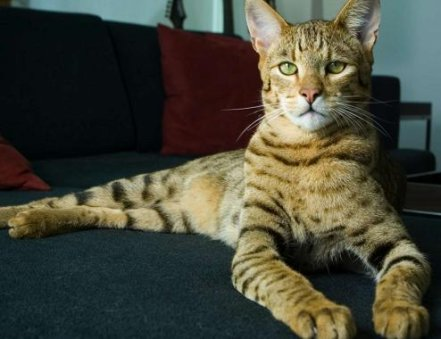 Cat  Snow Ashera Cat  Ashera Cat Breeder  Royal Ashera Cat  Ashera Cat    Most Expensive Cat In The World
