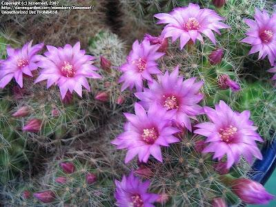bizanguita Mammillaria glochidiata