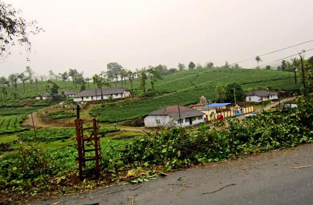 lush tea gardens of Kerala