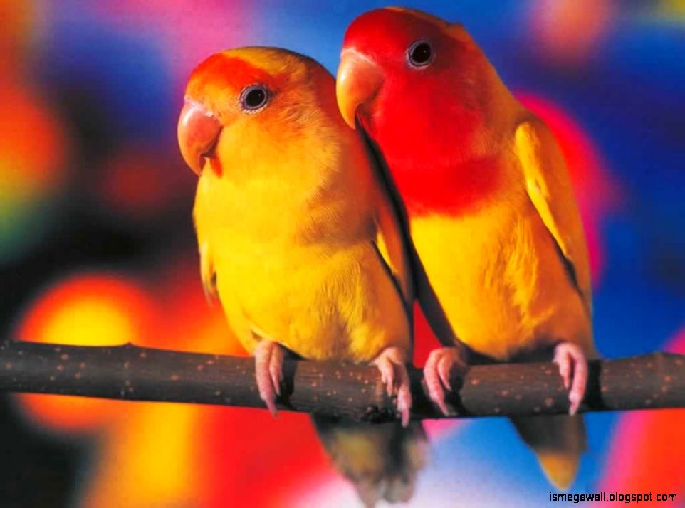 beautiful-​parrot-cou​ple-hd-wal​lpaper-liv​e-hd-wallp​aper-hq