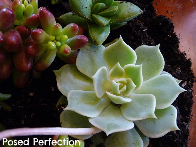 My First Terrarium Succulent Rosette