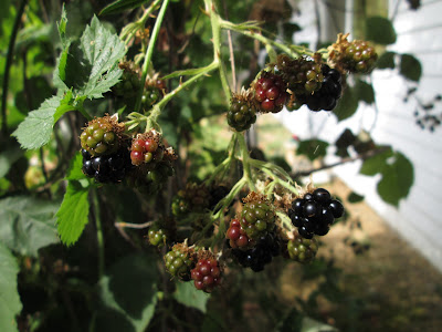 Blackberries in an Oregon backyard