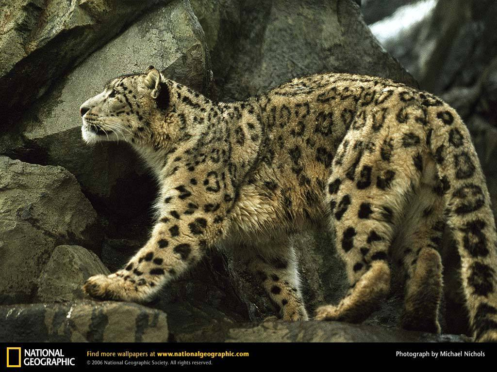 http://3.bp.blogspot.com/-e5_82-Jbb00/T2b-ulnEQOI/AAAAAAAAAoM/k07e6I5ll4w/s1600/leopard-climbing-rocks-exploring-the-world-on-top-pictures-wallpaper.jpg