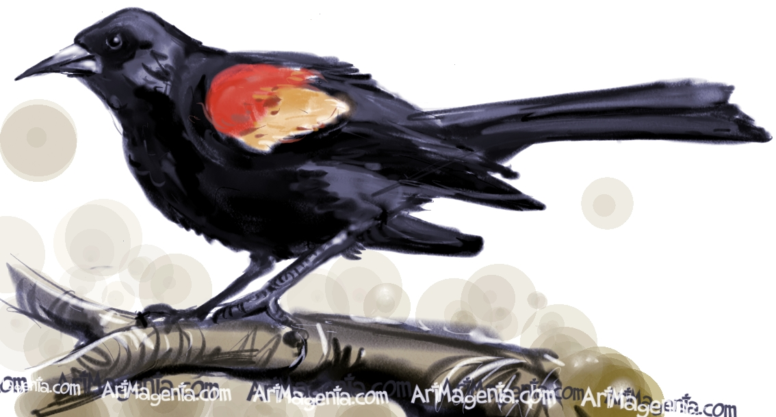 red winged blackbird coloring pages - photo#26