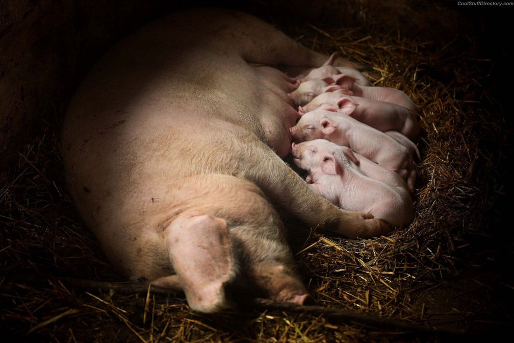 The pigs to feed in Sarulesti, Romania