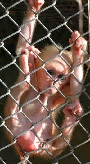 Monkey in a zoo, doing what they do.