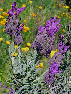 Heritage Lavender with California Poppies
