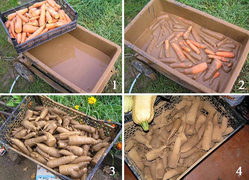 Уборка и хранение моркови в домашних условиях - NikeCRM