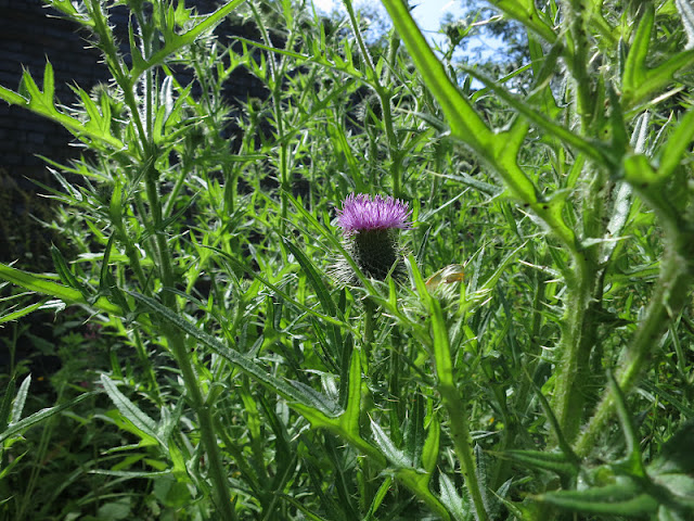June 30th 2012 Probably Spear Thistle (Cirsium Vulgare)