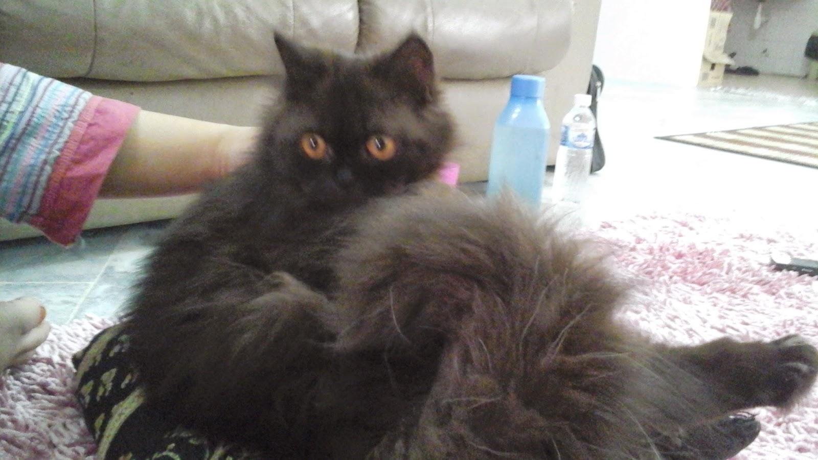 kucing parsi manja