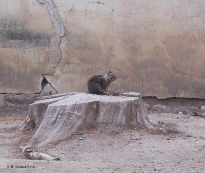 Squirrel at Mission San Miguel, © B. Radisavljevic