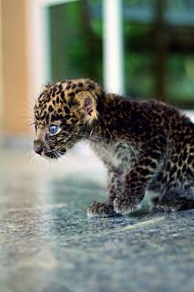 kitten leopard