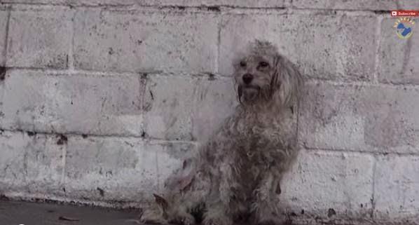 emotivo rescate de un perro de raza caniche