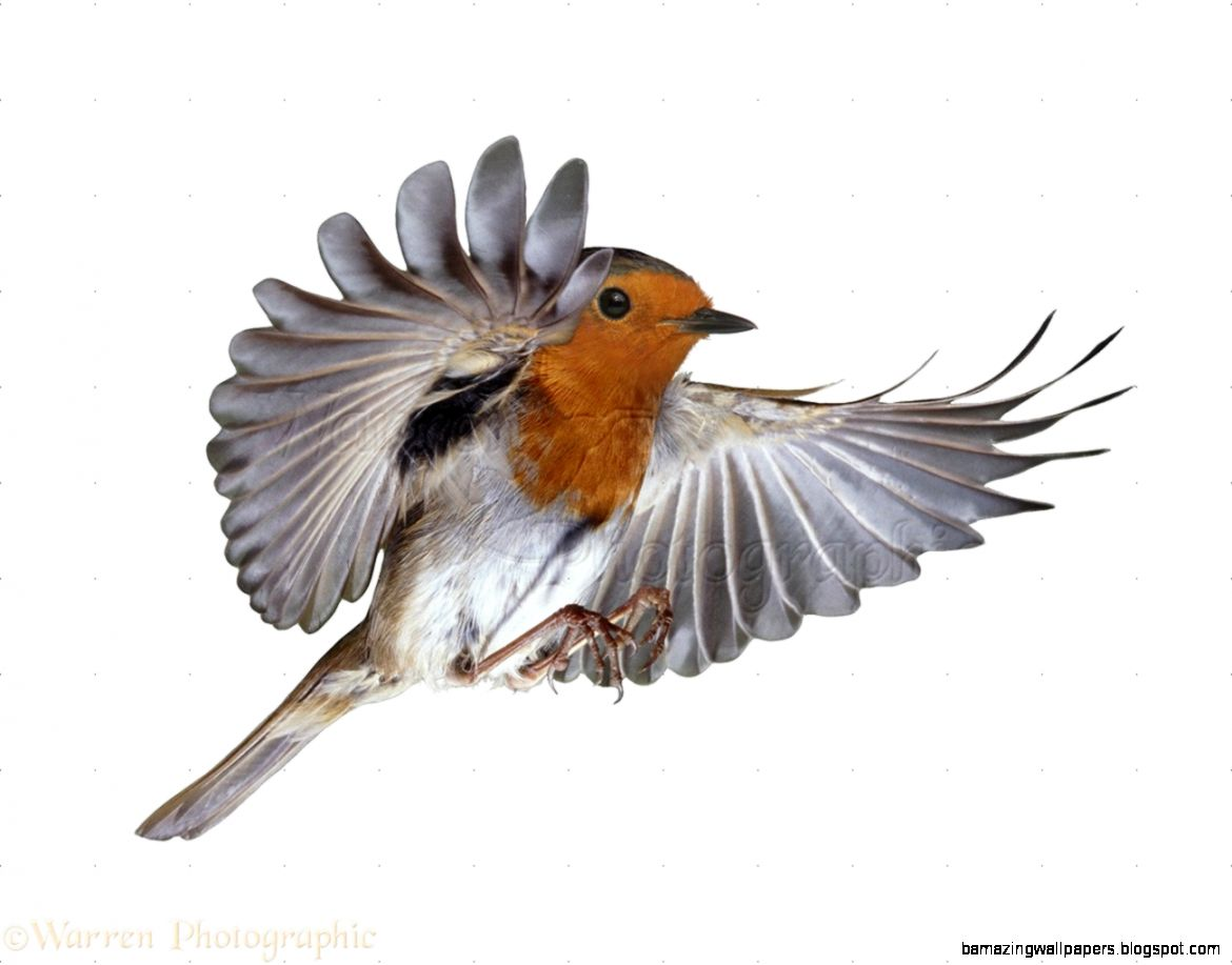 Robin flying photo   WP09376