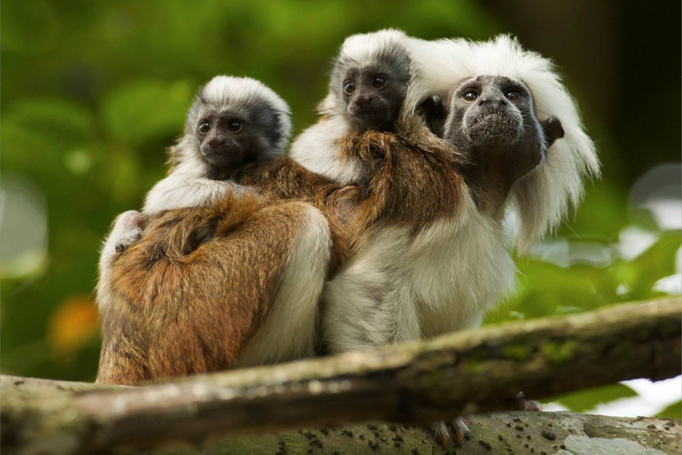 baby red handed tamarin. cottontop tamarin baby red handed