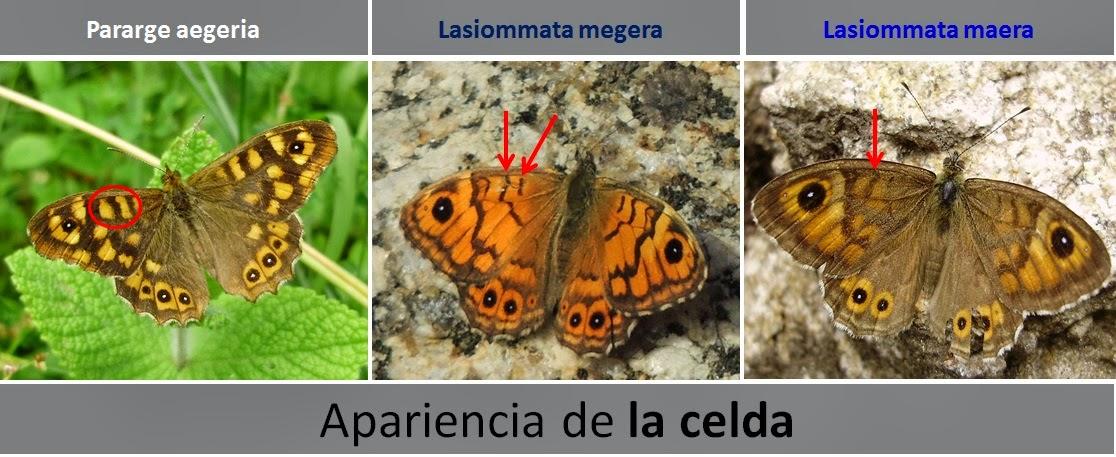 Diferencias de apariencia de la Celda de Pararge aegeria, Lasiommata megera y Lasiommata maera