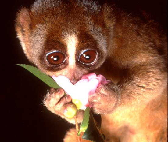 slow-loris-animal-primate-adorable