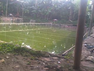 umpan ikan mas empang air hijau